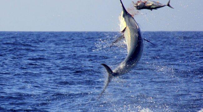 Dev merlin balığının av anı tüyler ürpertti!